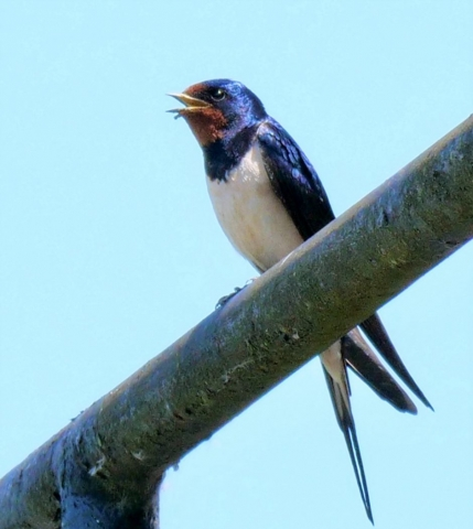 Swallow by Rob Porter-May 24th, Ashlett Creek