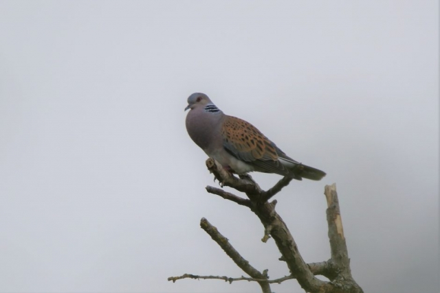 Turtle Dove by Andy Tew - Jun 16th, Martin Down