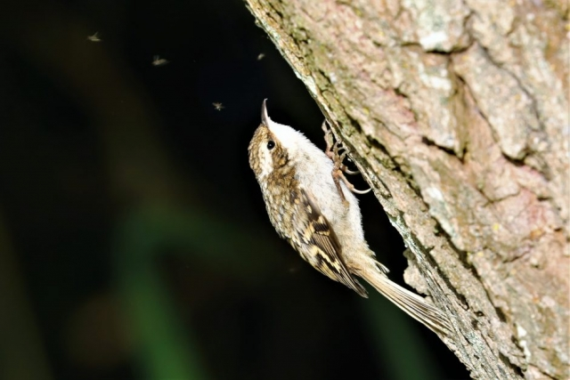 Treecreeper by Brian Cartwright - Jun 7th, Anton Lakes