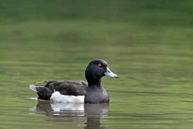 Tufted Duckby Richard Jacobs - Jun 4th,Timsbury