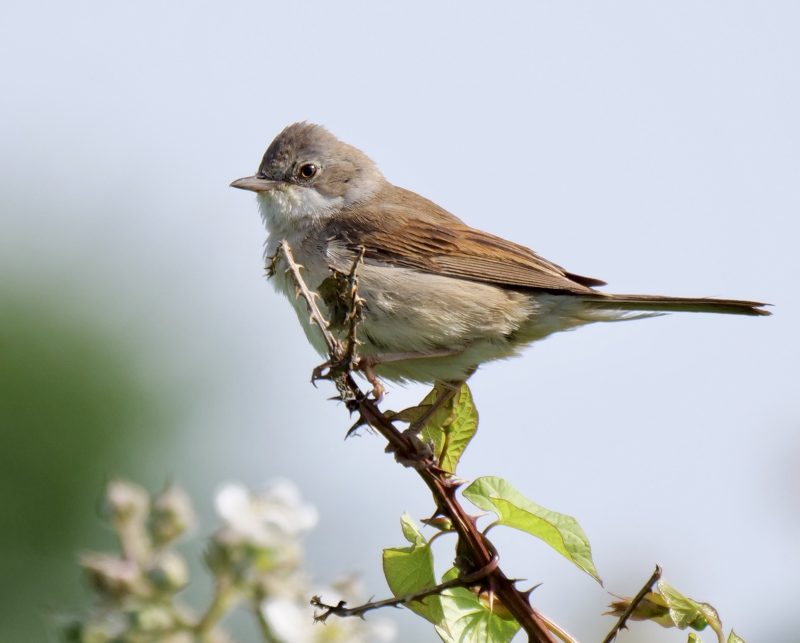 Whitethroat by Rob Porter-June 7th, Lower Test Marshes