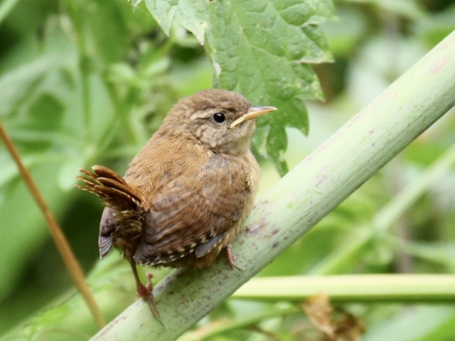 Wren by Rob Porter-June 9th, Skidmore, Nursling