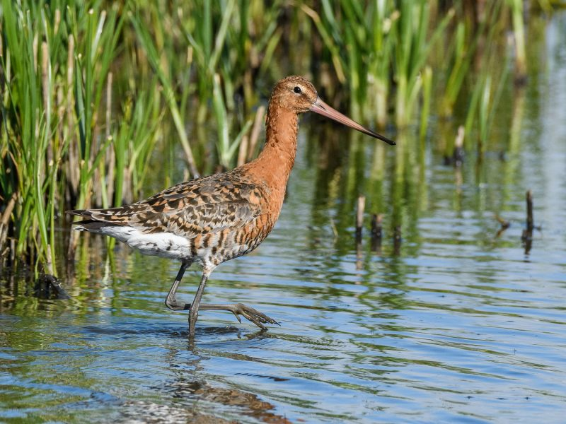 Black-tailed Godwit by Gareth Rees - Jun 13th, Pennington Marsh
