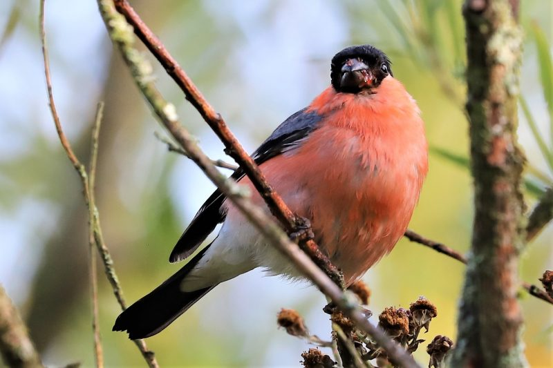 Bullfinch by Brian Cartwright - Jul 29th, Anton Lakes