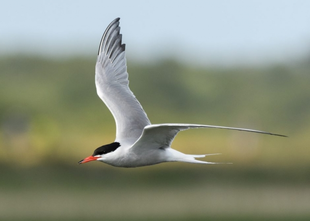 Common Tern by Gareth Rees - Jun 22nd, Penington Marsh