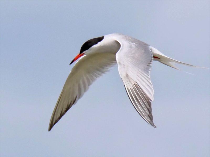Common Tern by Rob Porter-July 7th, Hillhead