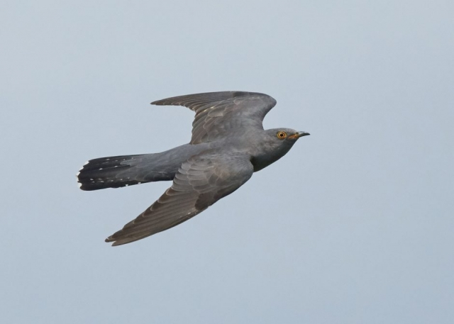 Cuckoo by Martin Bennett - Jun 13th, Furze Hill