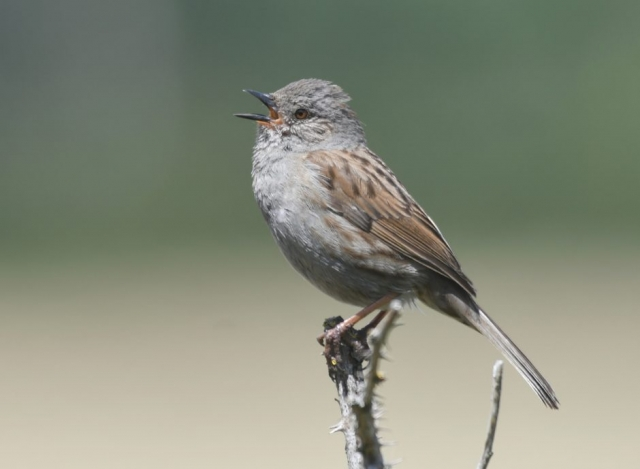 Dunnock by Dave Levy - Jun 20th, Basingstoke