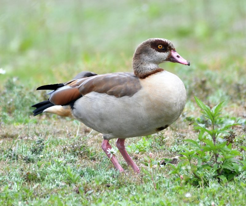 Egyptian Goose by Dave Levy - Jul 4th, Edenbrook CP