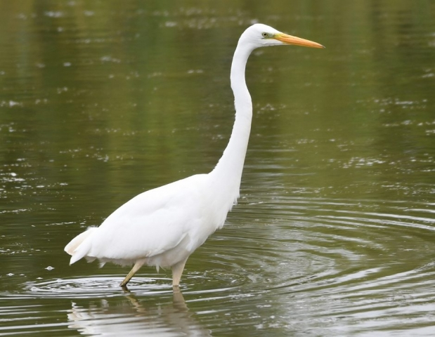 Great White Egret by Dave Levy - Jul 4th, Edenbrook CP