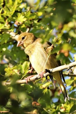 Greenfinch by Brian Cartwright - Jul 12th, Anton Lake