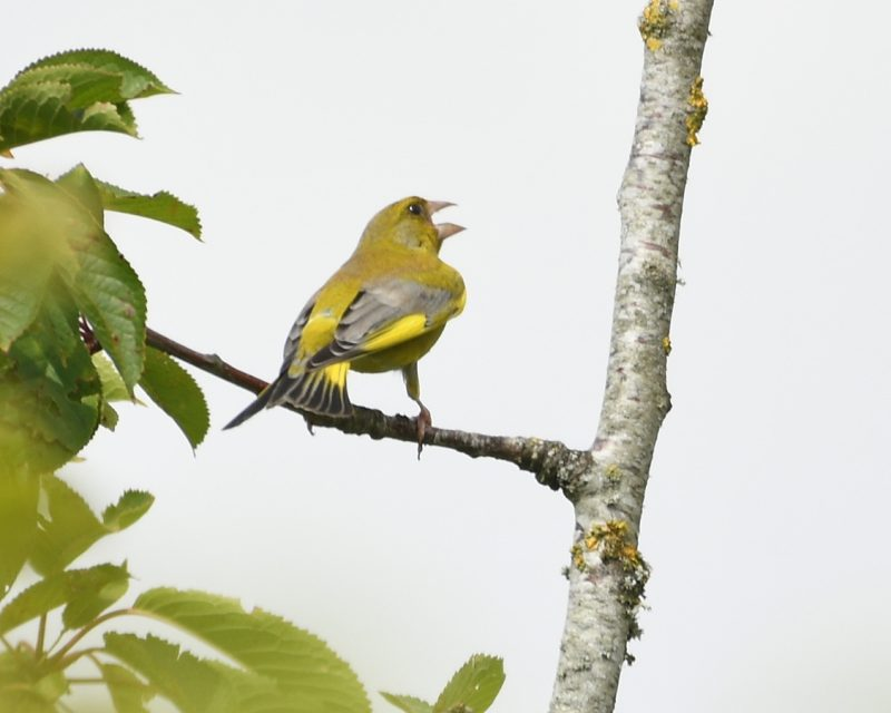 Greenfinch by Dave Levy - Jul 17th, Basingstoke