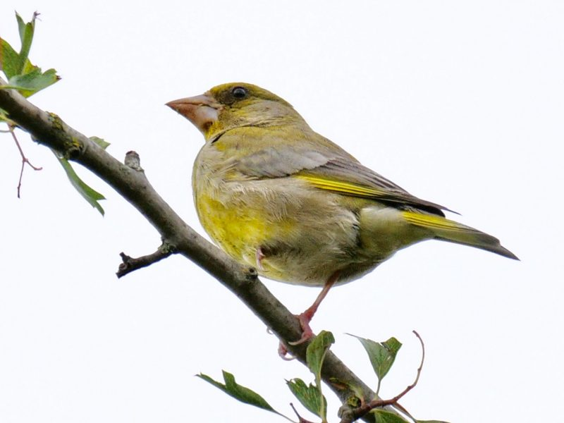 Greenfinch by Rob Porter-July 1st, Lower Test Marshes