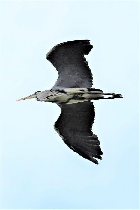 Grey Heron by Brian Cartwright - Jul 5th, Anton Lake
