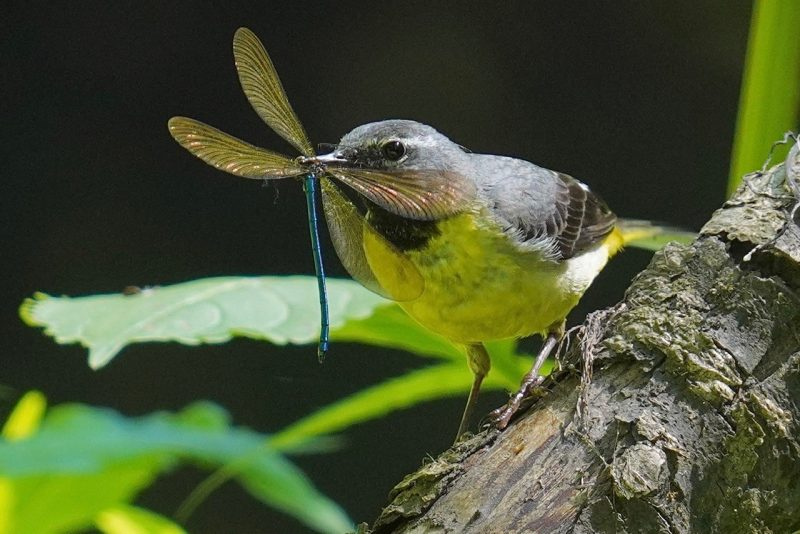 Grey Wagtail by John Scamell - Jun 25th, Riverside Park