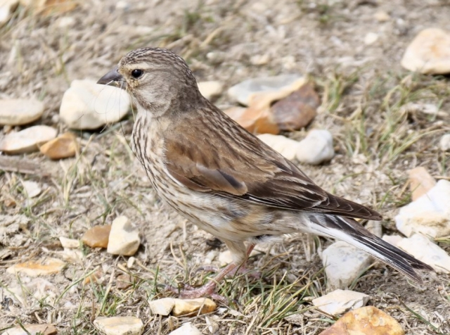 Linnet by Rob Porter-July 14th, Oxey Marsh
