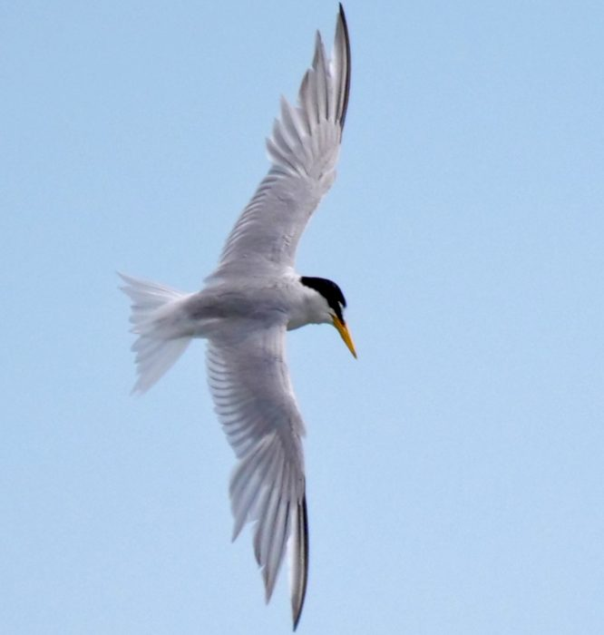 Little Tern by Rob Porter -July 14th, Oxey Creek