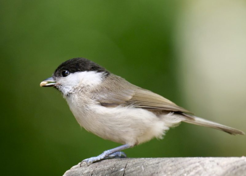Marsh Tit by Rob Porter-June 22nd, Eyeworth Wood