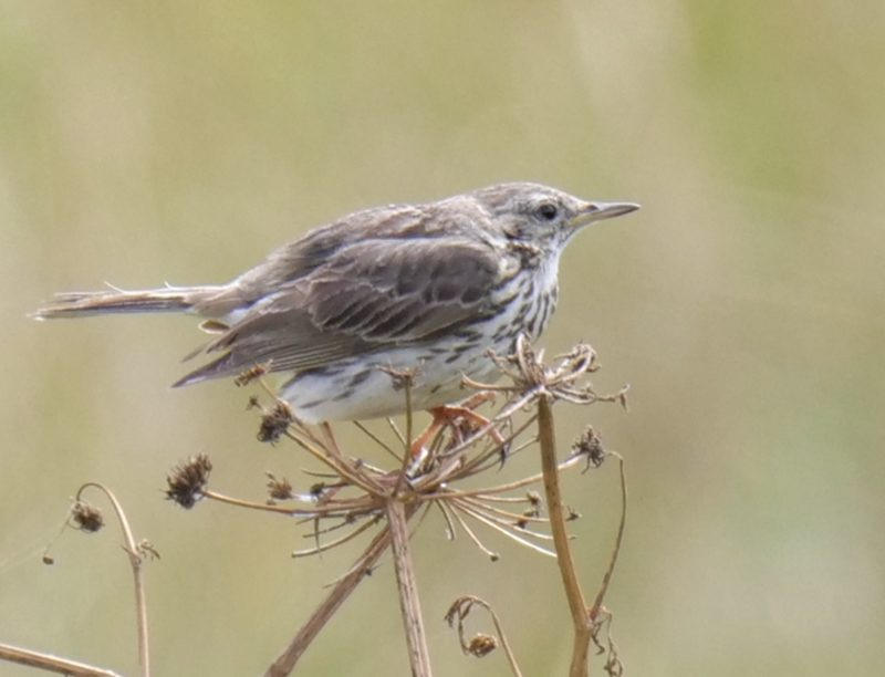 Meadow Pipit by Rob Porter-July 14th, Oxey Marsh