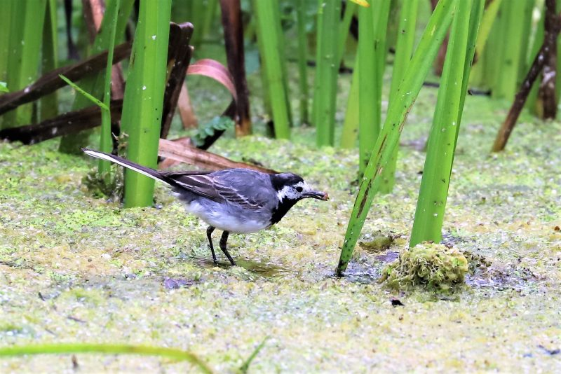 Pied Wagtail by Brian Cartwright - Jul 25th, Anton Lakes