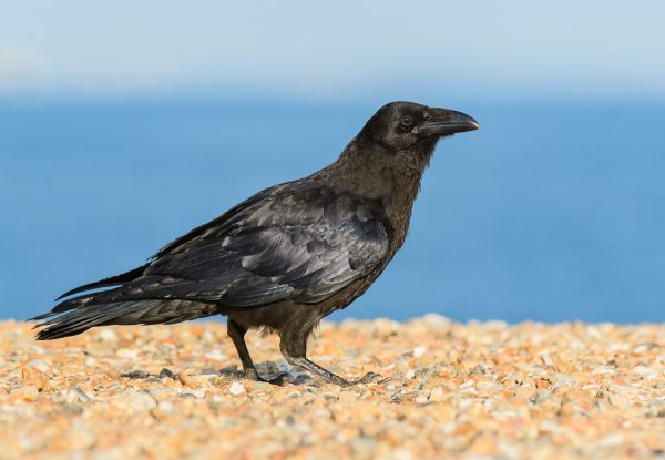 Raven by Gareth Rees - Jun 23rd, Hurst Spit