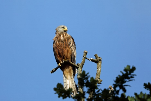 Red Kite by Richard Jacobs - Jun 22nd, Romsey