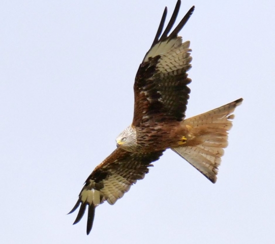 Red Kite by Rob Porter-July 3rd, Skidmore, Lee