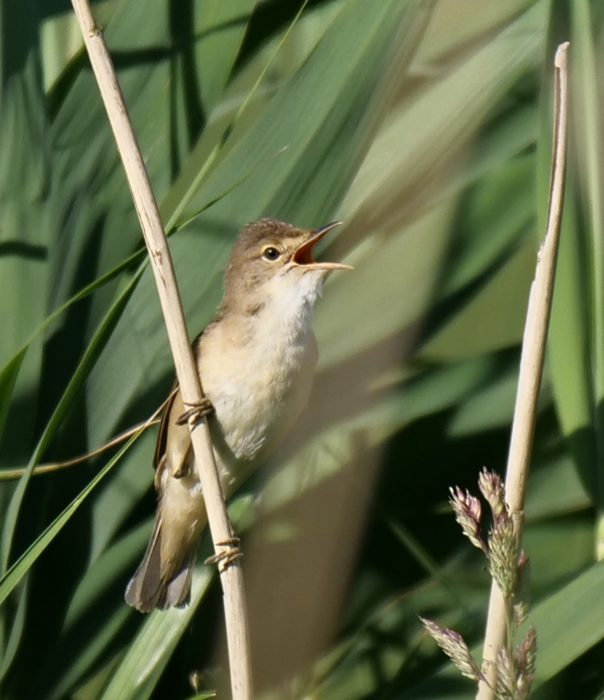 Reed Warbler by Rob Porter-June 25th, Lower Test Marshes