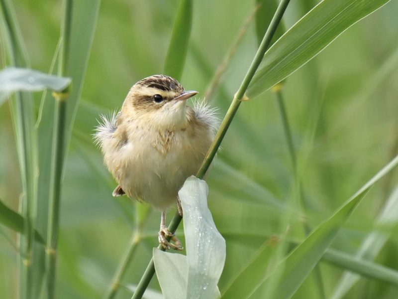 Sedge Wabler by Rob Porter-July 23rd, Lower Test Marshes