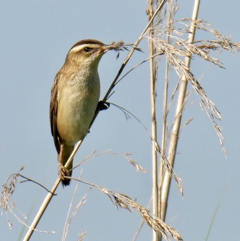 Sedge Warbler by Rob Porter-June 25th, Lower Test Marshes