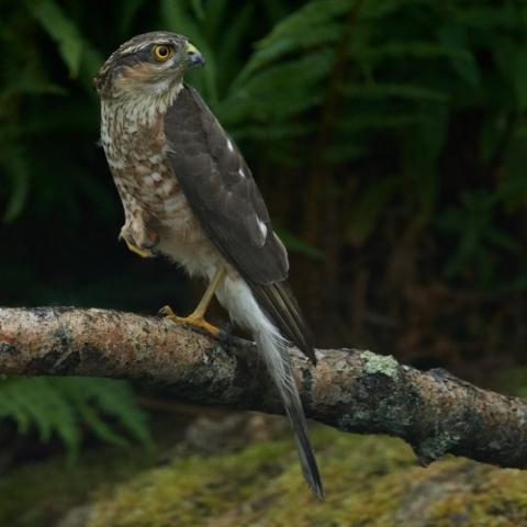 Sparrowhawk by Martin Bennett - Jul 3rd, Furze Hill