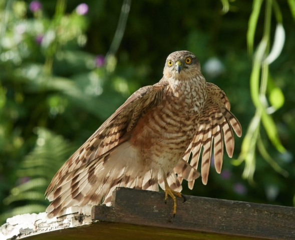 Sparrowhawk by Martin Bennett - Jun 21st, Furze Hill