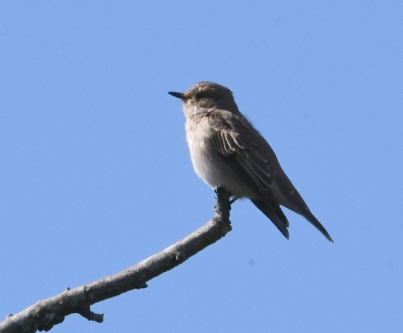 Spotted Flycatcher by Dave Levy - Jul 17th, Boldrewood