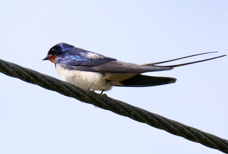 Swallow by Rob Porter-June 22nd, Fritham, NF