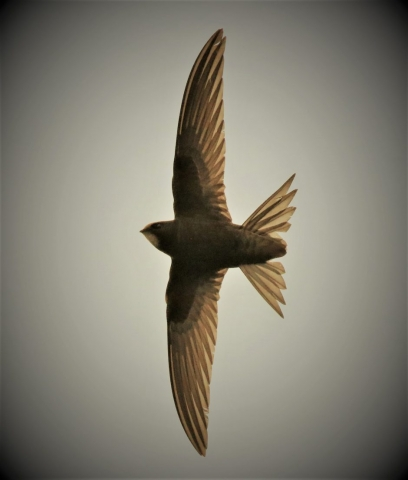 Swift by Andy Tew - Jul 15th, Romsey