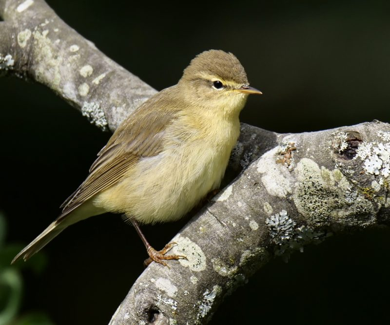 Willow Warbler by Rob Porter-July 28th, Emer Bog