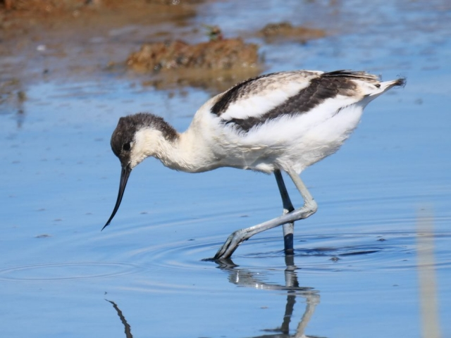 Avocet by Rob Porter- Aug 7th, Hampshire