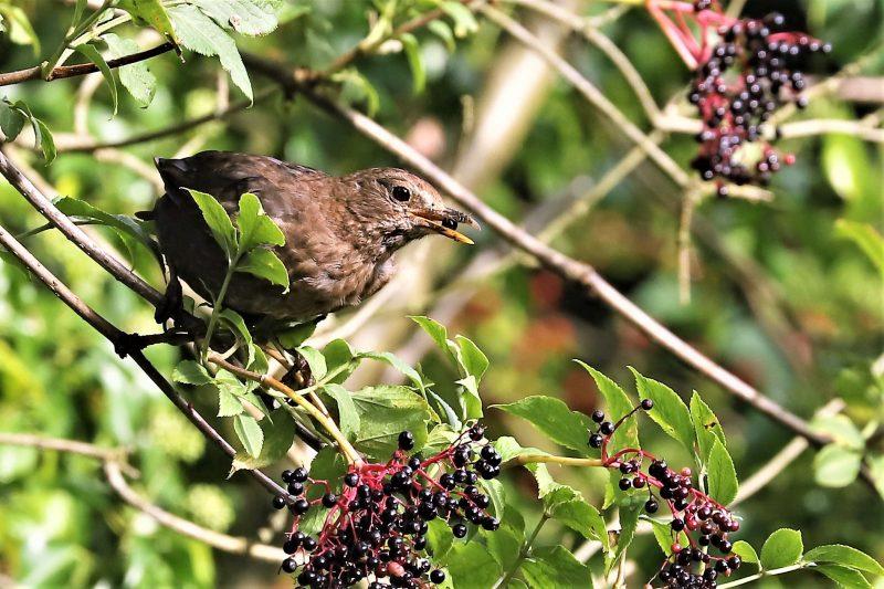 Blackbird by Brian Cartwright - Aug 22nd, Anton Lakes