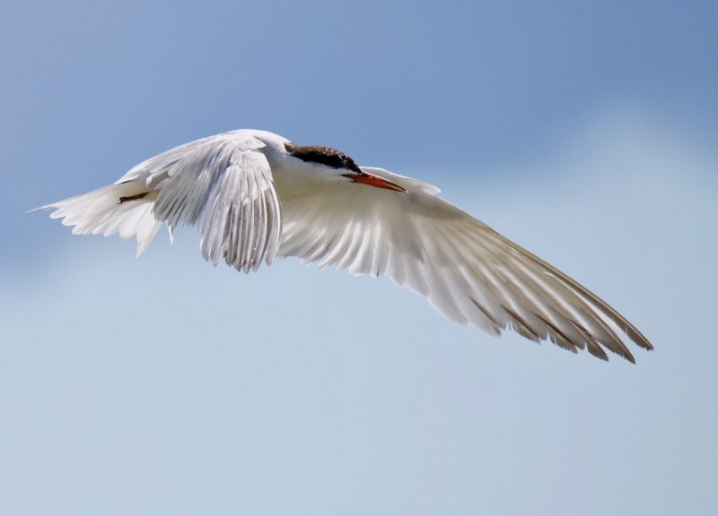 Common Tern by Rob Porter - Aug 3rd, Hook-with-Warsash
