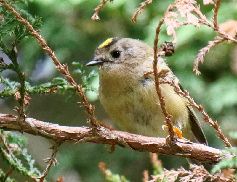 Goldcrest by Rob Porter-18th Aug, Southampton Common
