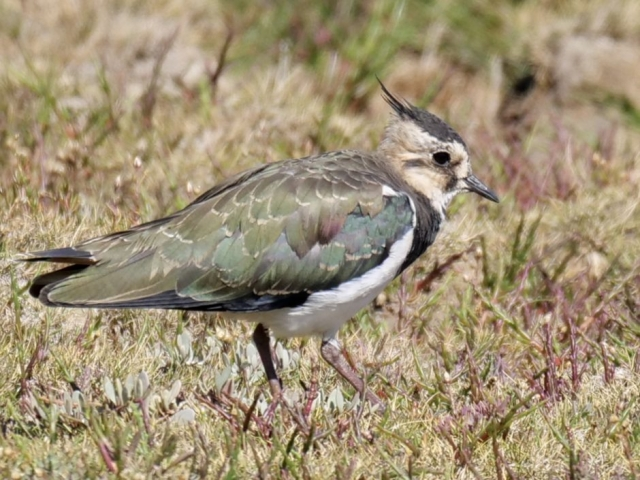 Lapwing by Rob Porter-Aug 7th, Normandy Marsh