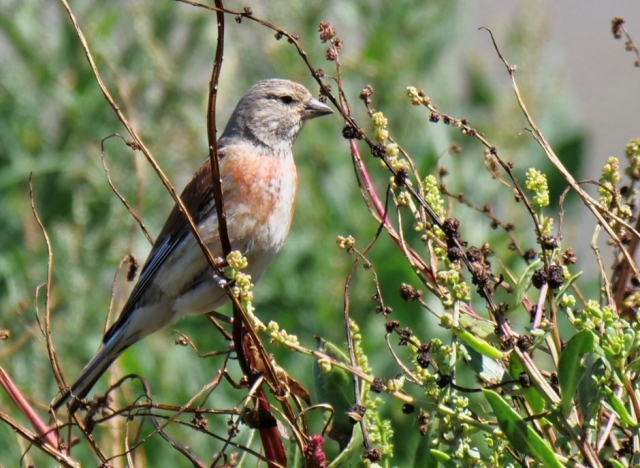 Linnet by Rob Porter-July 30th, Hook-with-Warsash
