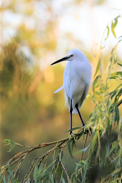 Little Egret by Brian Cartwright - Aug 1st, Anton Lakes
