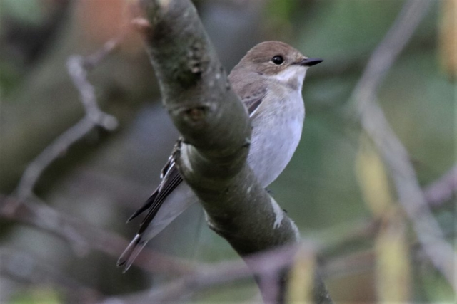 Pied Flycatcher by Andy Tew - Aug 22nd, Warsash