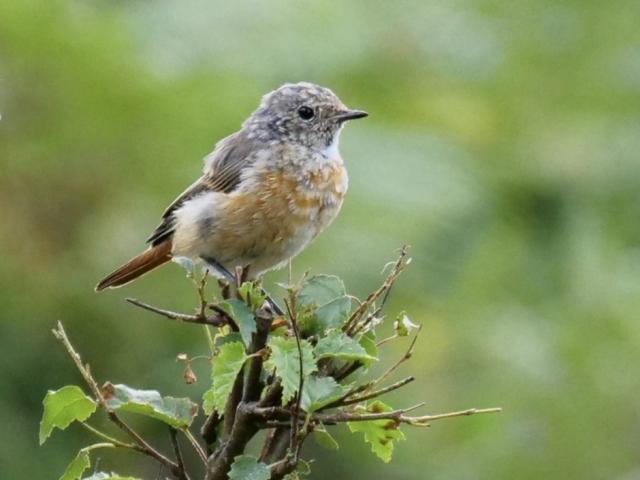 Redstart (juv) by Rob Porter-Aug 2nd, Pig Bush, N.F