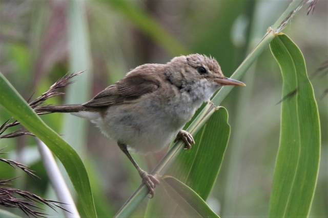 Reed Warbler by Andy Tew - Aug 4th, Lower test Marshes