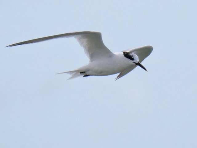 Sandwich Tern by Rob Porter-Aug 3rd, Hook-with-Warsash