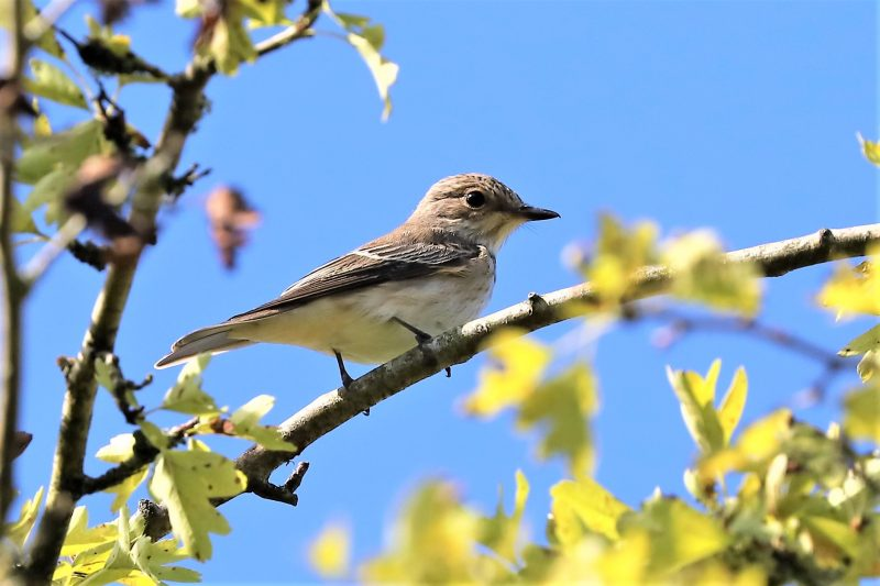 Spotted Flycatcher by Brian Cartwright - Aug 22nd, Anton Lakes