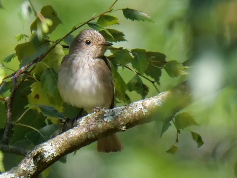 Spotted Flycatcher by Rob Porter-Aug 20th, Pig Bush, N.F