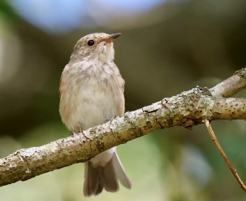 Spotted Flycatcher by Rob Porter-Aug 26th, Pig Bush, N.F